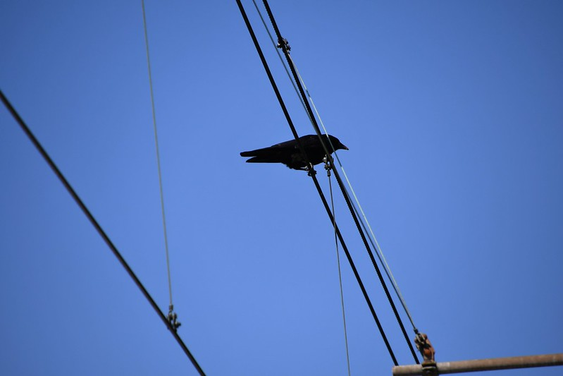 Crow on a Wire 14.05 (1)