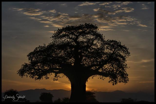 Baobob Sunset