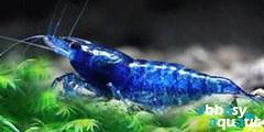 Blue Diamond Shrimp