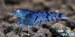 Blue Star Shrimp | by abbasyaquatic