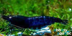 Blue Carbon Shrimp