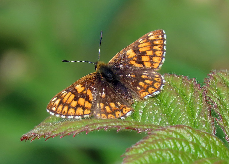 Duke of Burgundy - Hamearis lucina