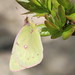 Clouded Sulphur at Sandy Hook