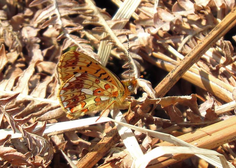 Pearl-bordered Fritillary - Boloria euphrosyne
