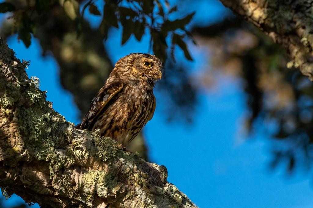 Little Owl - Mocho-galego - Athene noctua