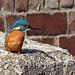 Kingfisher by NickWakeling