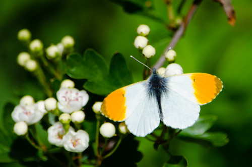 Male orange tip butterfly, hawthorn flower buds