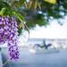 IMGP3590 Flor da Glicina (Wisteria sinensis)