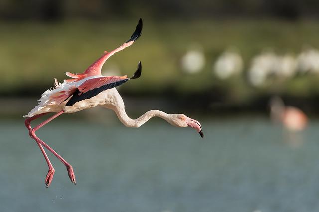 Flamingo approach