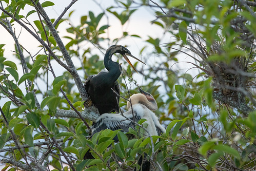 Food delivery from father Anhinga