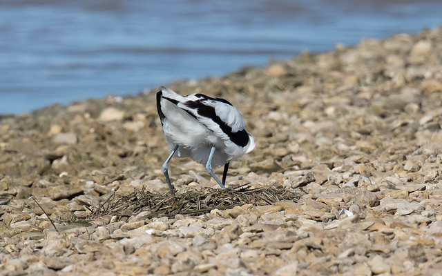 Avocet with eggs (Steart Marshes)