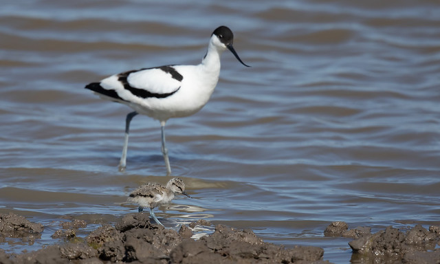 Avocet with chick (Steart Marshes)