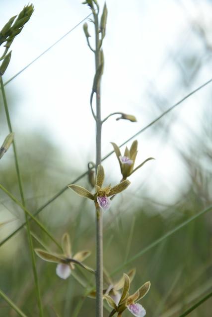 Eulophia graminea (13)