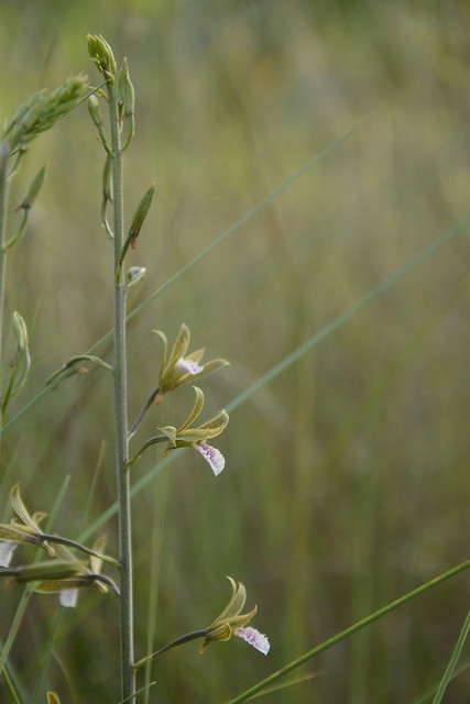 Eulophia graminea (4)