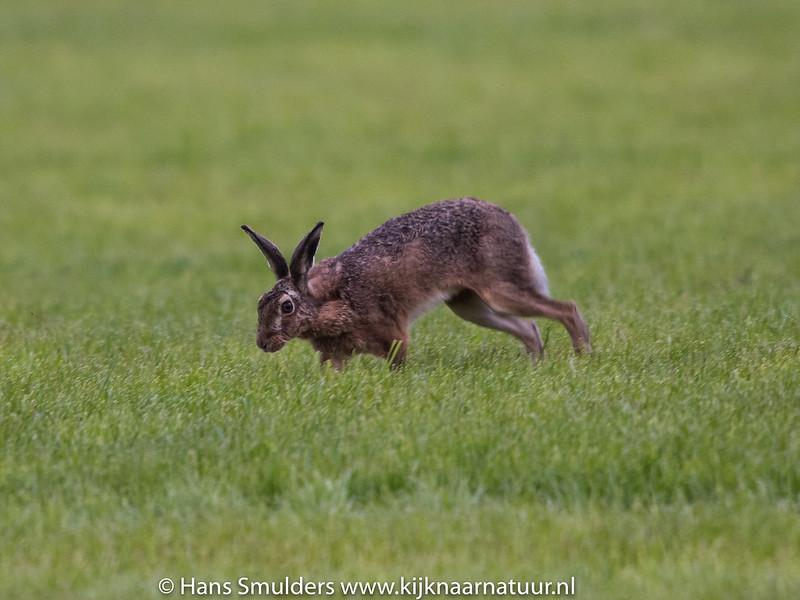 Haas (Lepus europaeus)-819_1444