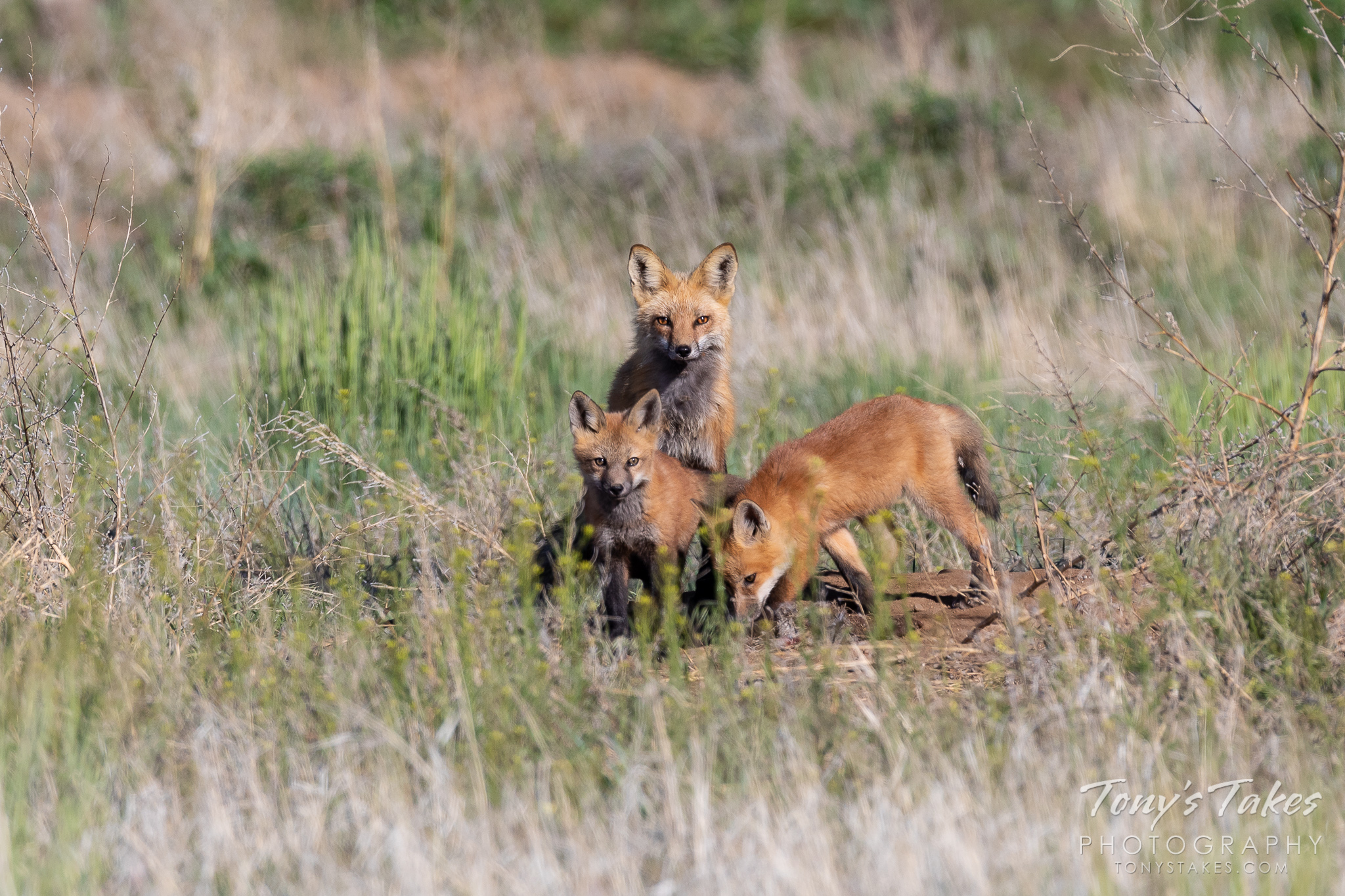 A red fox vixen keeps close watch while her kits explore. (© Tony's Takes)