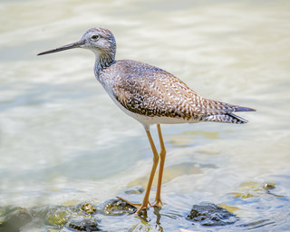 Greater Yellowlegs | by wplynn