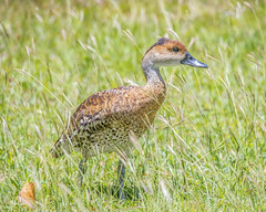 West Indian Whistling-Duck in grass