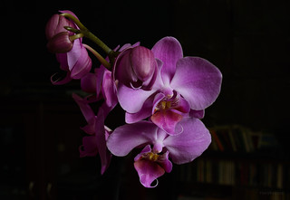 DSC_5378_Orchid | by tonyew2008