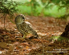 Barred Owl on ground eating squirrel