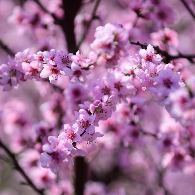 Colorful peach blossoms 🌸
