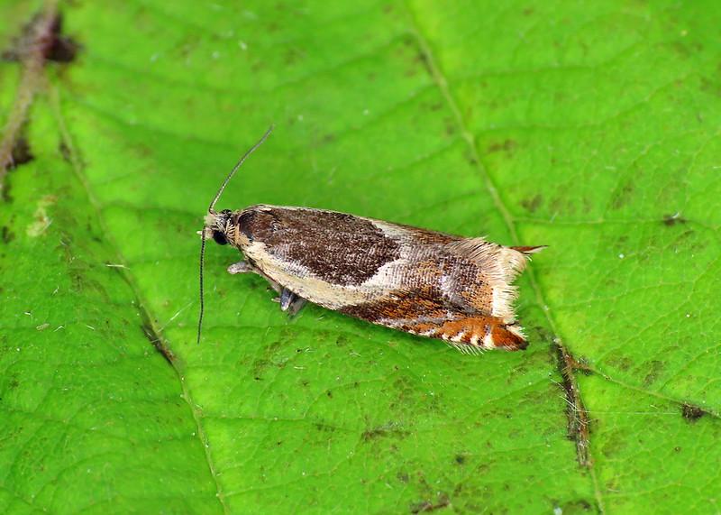 49.214 Common Roller - Ancylis badiana