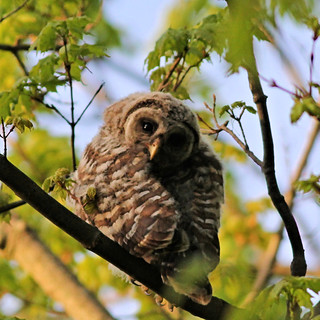 Owl Barred juv -LENSC Bay Village OH