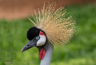 Grey Crowned crane | by Phil Marion (176 million views - THANKS)
