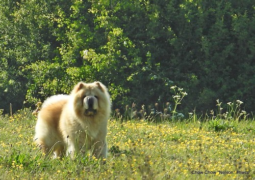 """Nelson"" the Chow Chow"