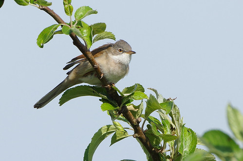 fendraytonlakes cambridgeshire wild bird wildlife nature whitethroat warbler sylviacommunis