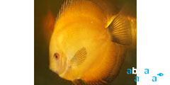 Melon Gold Discus