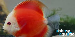 Marlboro Red Discus | by abbasyaquatic
