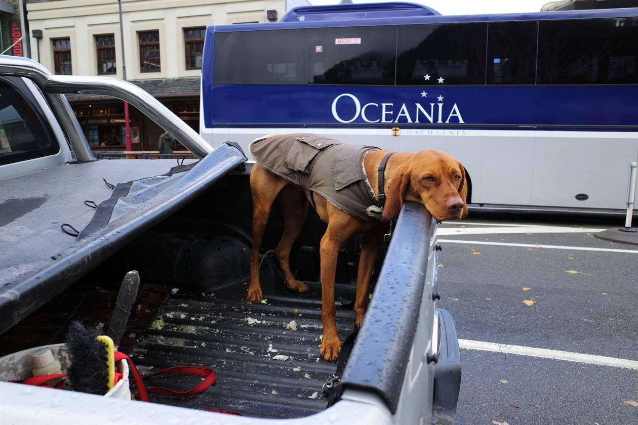 クイーンズタウンの犬