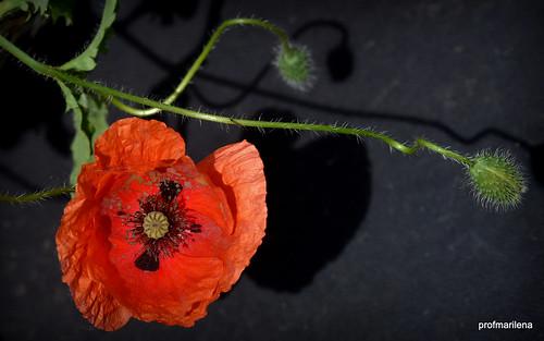 1-DSC_4703-001  wild poppy in my garden
