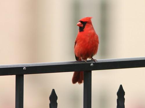 Northern Cardinal 01-20190509