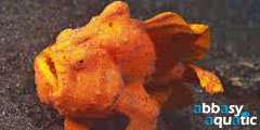 Frogfish Orange | by abbasyaquatic