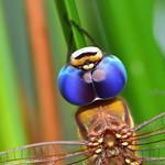 碧翠蜓, Common Evening Hawker, Anaciaeschna jaspidea,
