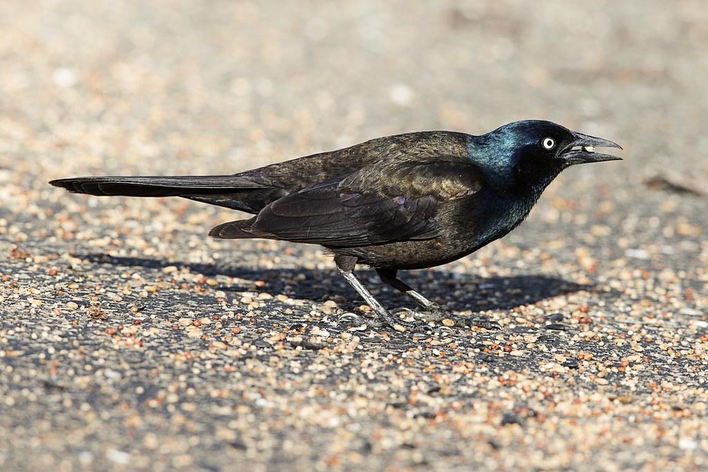 Autres oiseaux récents de ma cour 47811427741_fde10c71e8_b