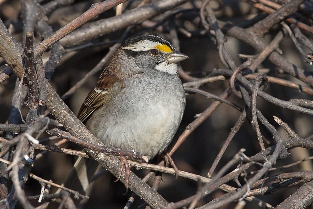 Autres oiseaux récents de ma cour 47811452531_47cc61e440_b