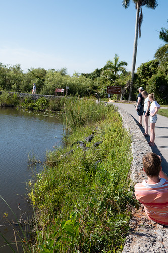People looking at very close alligators