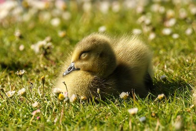 Sleeping chick