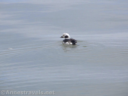 Long-tailed Duck in Lake Ontario near the Charlotte Pier