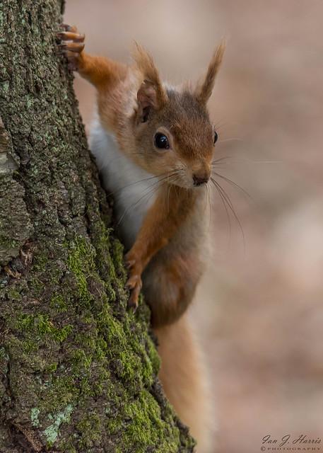 Red squirrel ( Explored ) #117