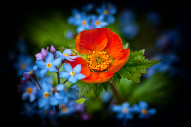I am Geum .... forget-me-not!