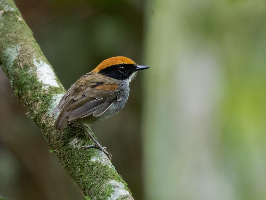 Black-cheeked gnateater/Cuspidor-de-máscara-preta (Conopophaga melanops) male