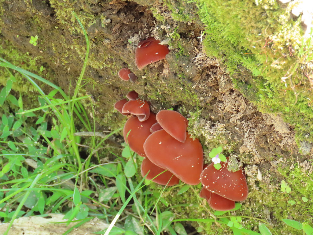 木耳屬菇蕈
