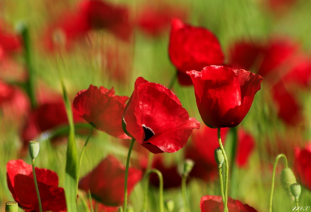 Poppies-a field of Happiness
