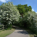 Hawthorn blossom path at Cottam, Preston