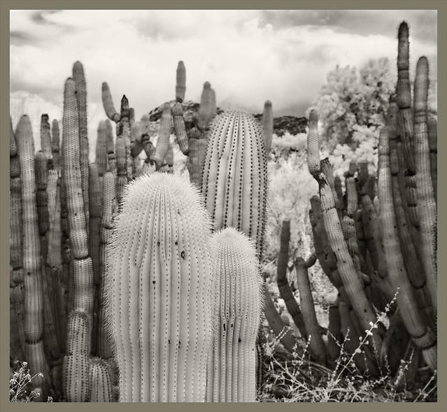 Desert Museum IR #12 2019; Golden Saguaros
