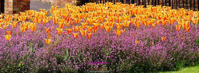 Tulip flowerbeds in Moira County Down